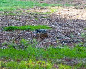 Red-Shouldered Hawk 3