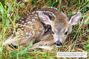 Fawn hides in the grass behind court #12