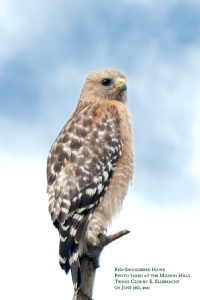 Red-shouldered Hawk at Kimber Park