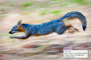Gray fox at Kimber Park