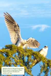 White-Tailed Kite pair in a Kimber Park cedar