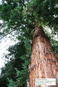 Kimber Park Redwood