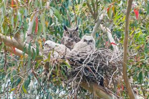 Great-Horned Owl and Owlets
